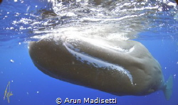 Sperm Whale smile. (taken under permit) by Arun Madisetti